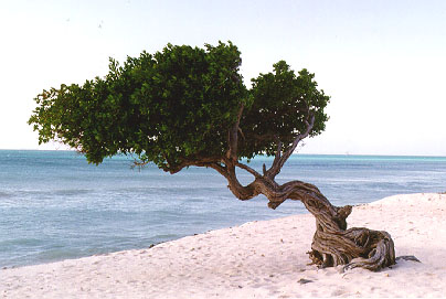 The beautiful divi divi tree